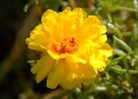 Yellow Moss Rose macro - Woodlands TX