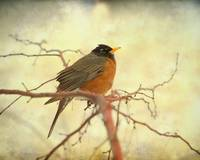 American Robin in The Springtime