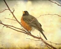 Female American Robin