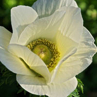 Poppy-Flowered Anemone
