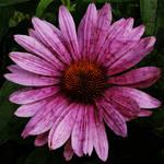 """Echinacea"" by Fotofrieze"