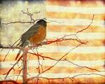 "USA American Robin by James ""BO"" Insogna"