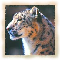 PROFILE OF AN ADULT SNOW LEOPARD