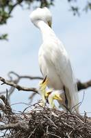 Fun Great Egret Family