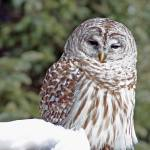 """Barred Owl"" by schlicht"