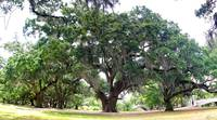 New Orleans City Park Live Oaks