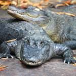 """""""Autumn Alligators"""" by kFergPhotos"""