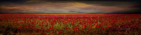Carlsbad flower fields in California - panoramic