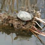 """Painted Turtle Sunning on a Mud Flat"" by rhamm"