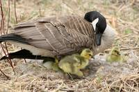 Female Canada Goose with Goslings