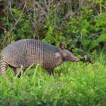 """Armadillo (IMG_0339)"" by jvandyke"
