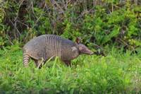 Armadillo (IMG_0339) by Jeff VanDyke