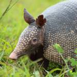"""Armadillo (IMG_0343)"" by jvandyke"