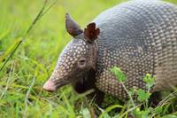 Armadillo (IMG_0343) by Jeff VanDyke