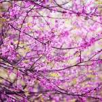 """Red Bud Tree"" by AnimalsbyDiDi"