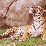 Maylayan Tiger