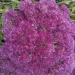 """2012 10 11 Sedum flowerhead."" by Kindurco"