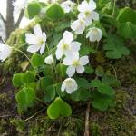 """Wood Sorrel on the base of a tree"" by Kindurco"