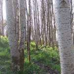"""20110408 - Poplar woodland (3)"" by Kindurco"