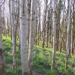 """20110408 - Poplar woodland (1)"" by Kindurco"