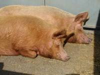 Let sleeping pigs lie!!! - enjoying the sunshine!