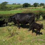 """Aberdeen Angus Cow and calf"" by Kindurco"