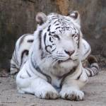"""White Tiger"" by AnimalsbyDiDi"