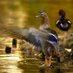"""Brown duck with fast wings"" by frankreggio"