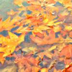 """Autumn Leaves Floating"" by AngelaStanton"