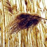 """""""Reeds"""" by ShawnaRowe"""