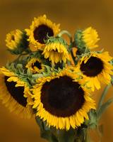Sunflowers together