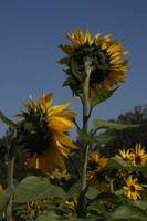 Sunflower patch 1