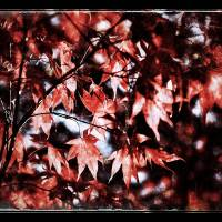 Red Leaves Art Prints & Posters by Marc Grabisch