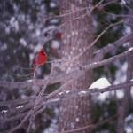 """Cardinal in snow storm"" by bobbyb236"