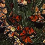"""monarchs at rest"" by bobbyb236"
