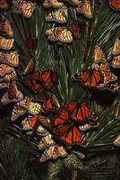 monarchs at rest