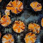 """Sea Urchins"" by unlimiteditalian"