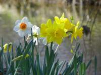 Daffodil Flowers by the Lake