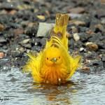 Yellow Warbler Bathing..