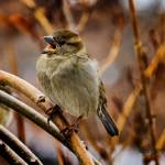 """Mrs Female House Sparrow"" by ROBERTSCOTTPHOTOGRAPHYY"