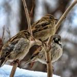 """Male and Female House Sparrows."" by ROBERTSCOTTPHOTOGRAPHYY"