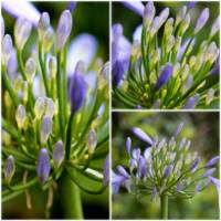 Agapanthus Collage