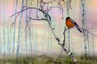 Bullfinch On Birch