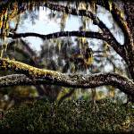 """Southern Live Oak"" by ChrisCrowley"