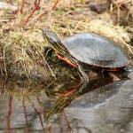 """Painted Turtle Climbing Onto Shore"" by rhamm"