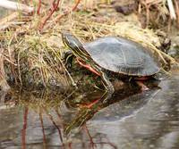 Painted Turtle Climbing Onto Shore
