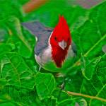 """""""Cardinal"""" by lifescaping"""