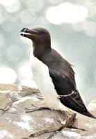 Backlite Razorbill