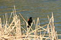 Red Winged Blackbird on Marsh Grass