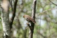 Female Red Winged Blackbird Perched on a Branch